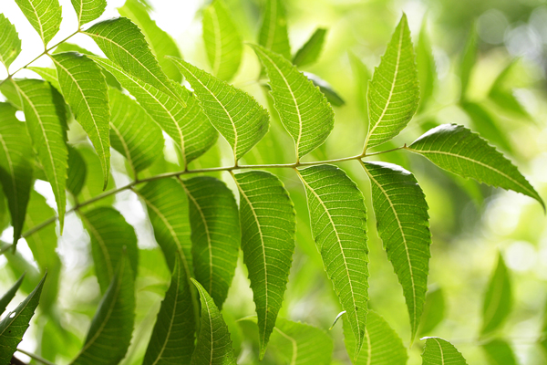 neem-leaves